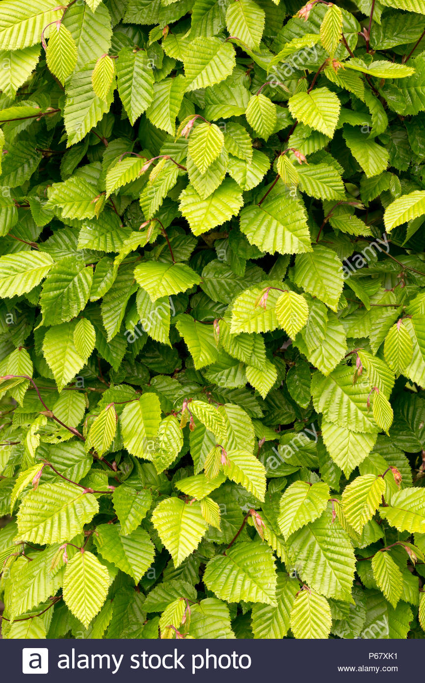 Background of Beech Hedging - Stock Image