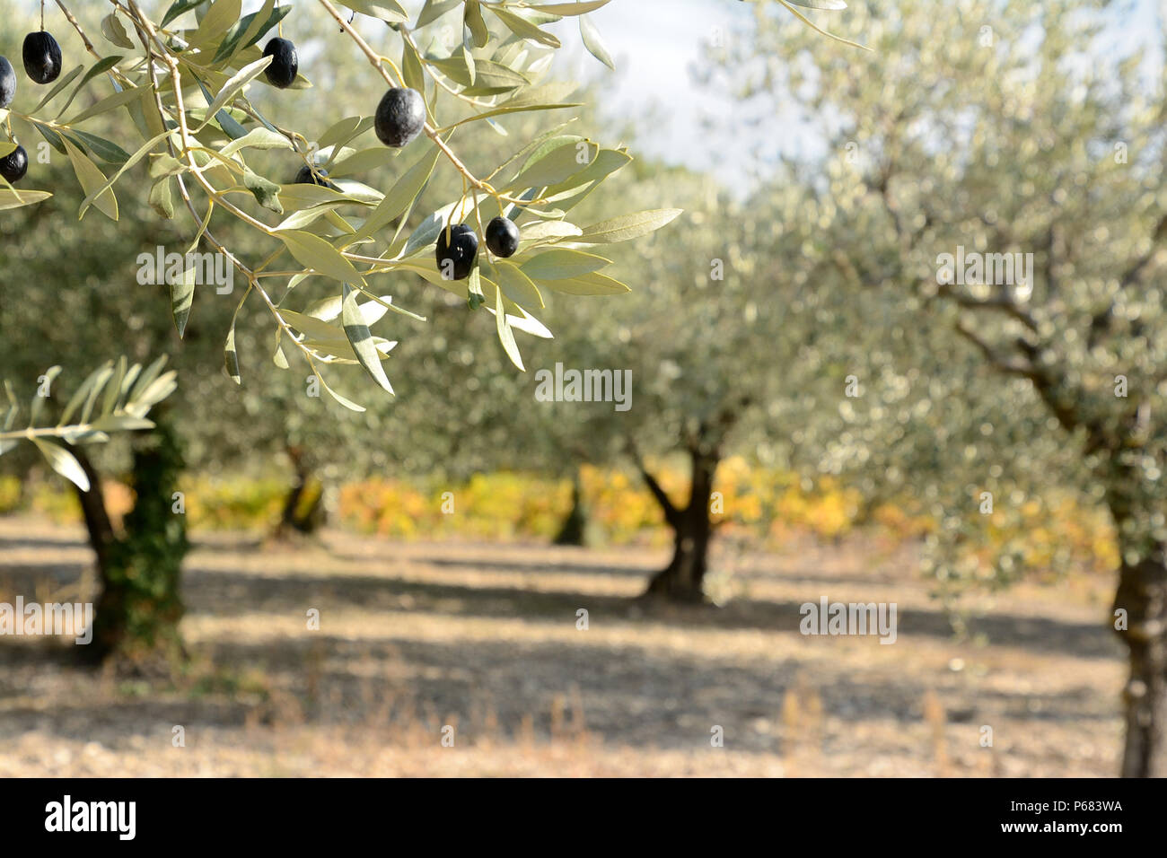 8863576891d1 Close up of an autumnal olive branch with olive grove and yellow colored  grapevine in the background. Provence in South of France.