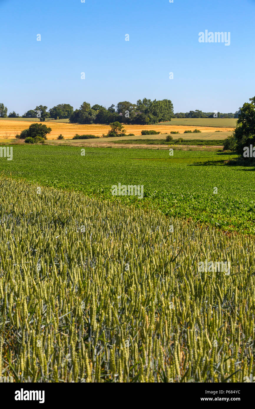 Different arable crops. Foreground - wheat, middle - sugar beet, yellow field -barley and 2 upper right fields more wheat. Hoxne, Suffolk, UK. Stock Photo
