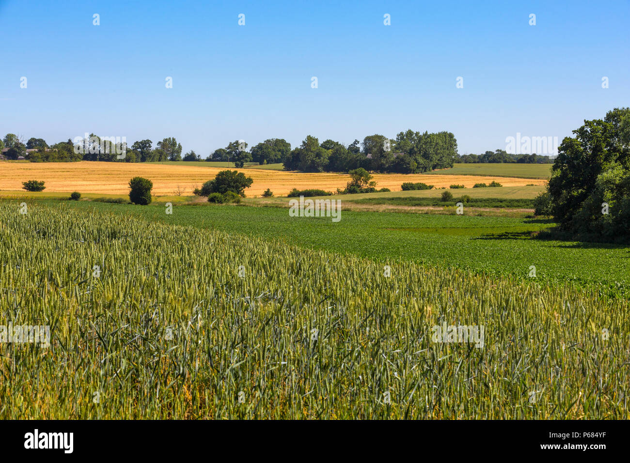 Mixed arable crops. Foreground - wheat, middle - sugar beet, yellow field -barley and 2 upper right fields more wheat. Hoxne, Suffolk, UK. Stock Photo