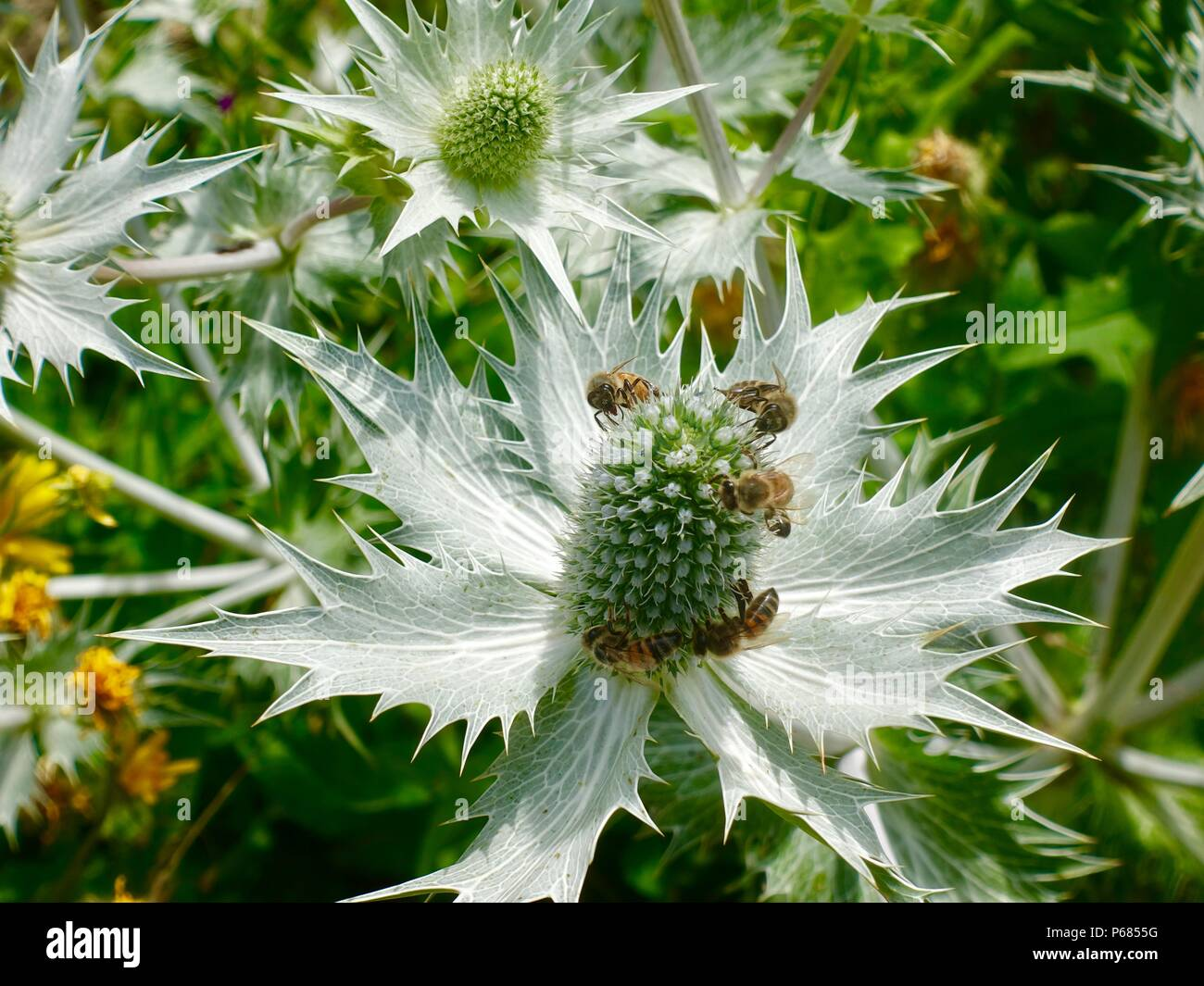 Eryngium giganteum, Sea holly, covered with pollinators, Northern France - Stock Image