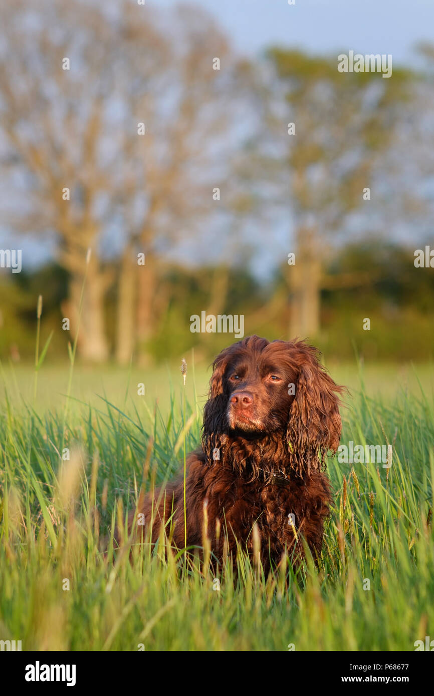 Working cocker spaniel in a field - Stock Image