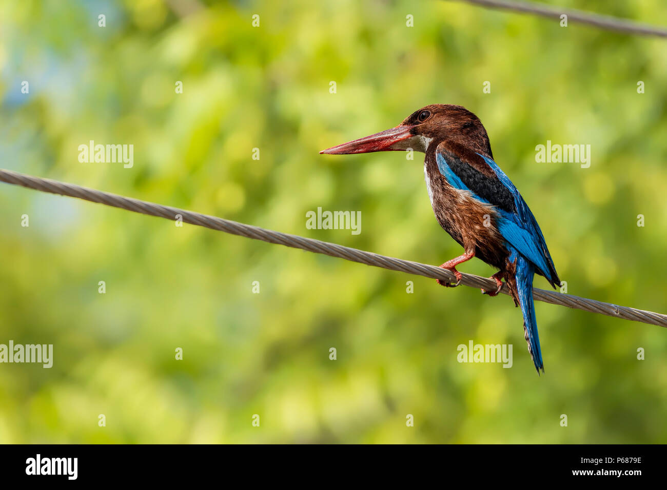 White-Throated Kingfisher (Halcyon smyrnensis). - Stock Image