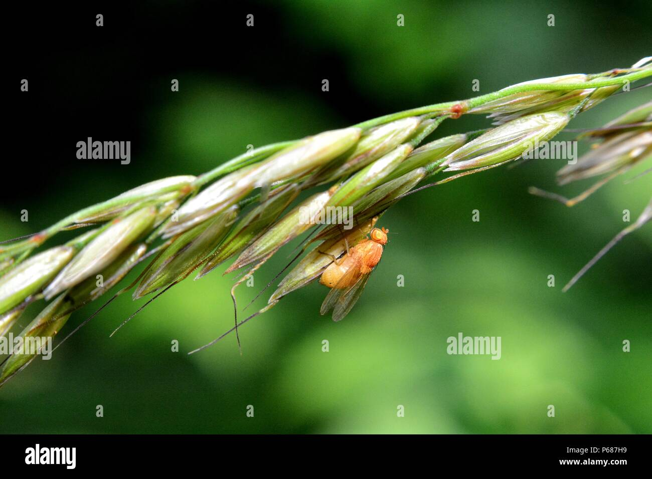 Drosophila Melanogaster   -   Fruit Fly in orange in nature Stock Photo
