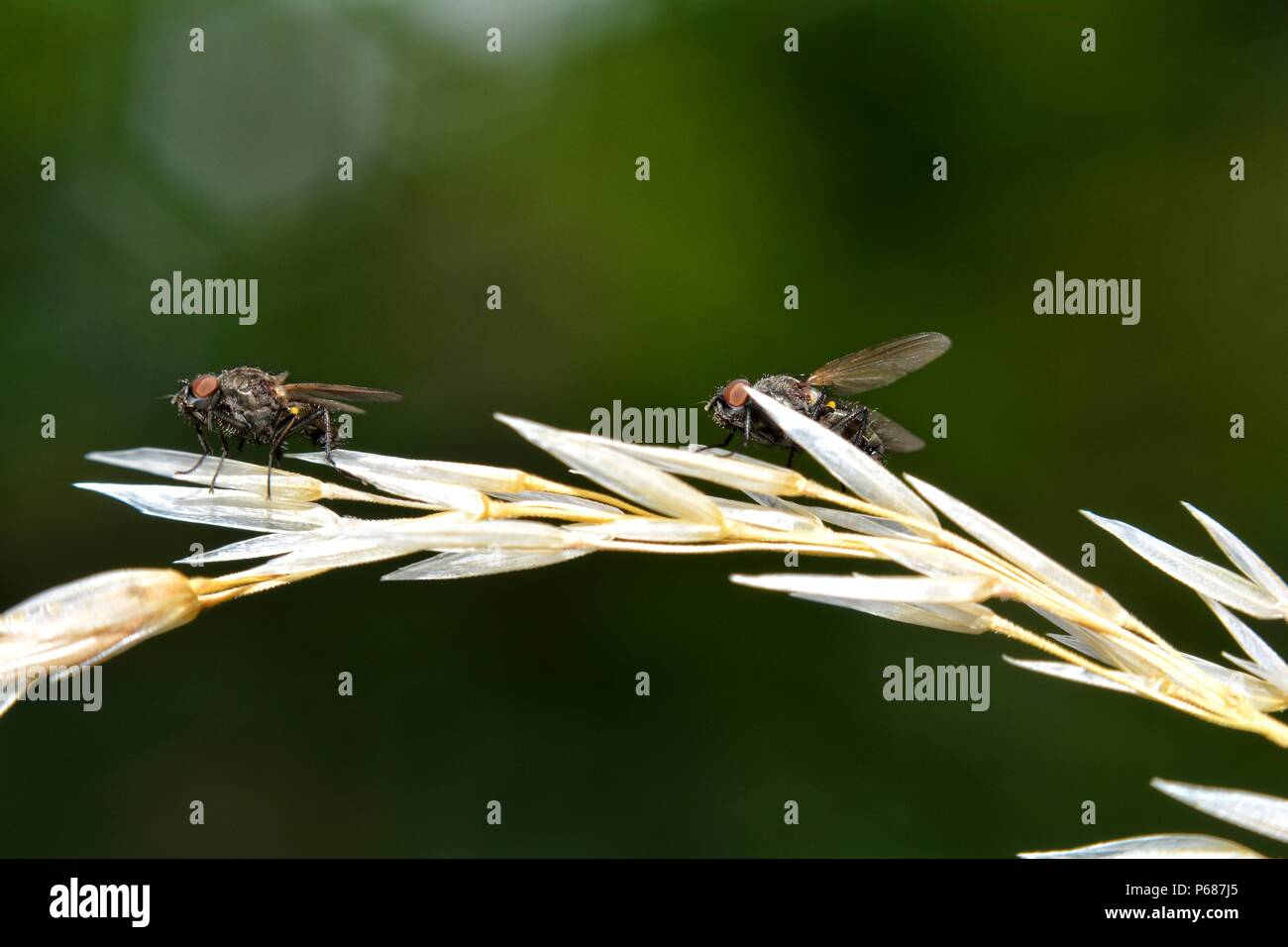 Two Flys  sits on  plant in green nature - Stock Image