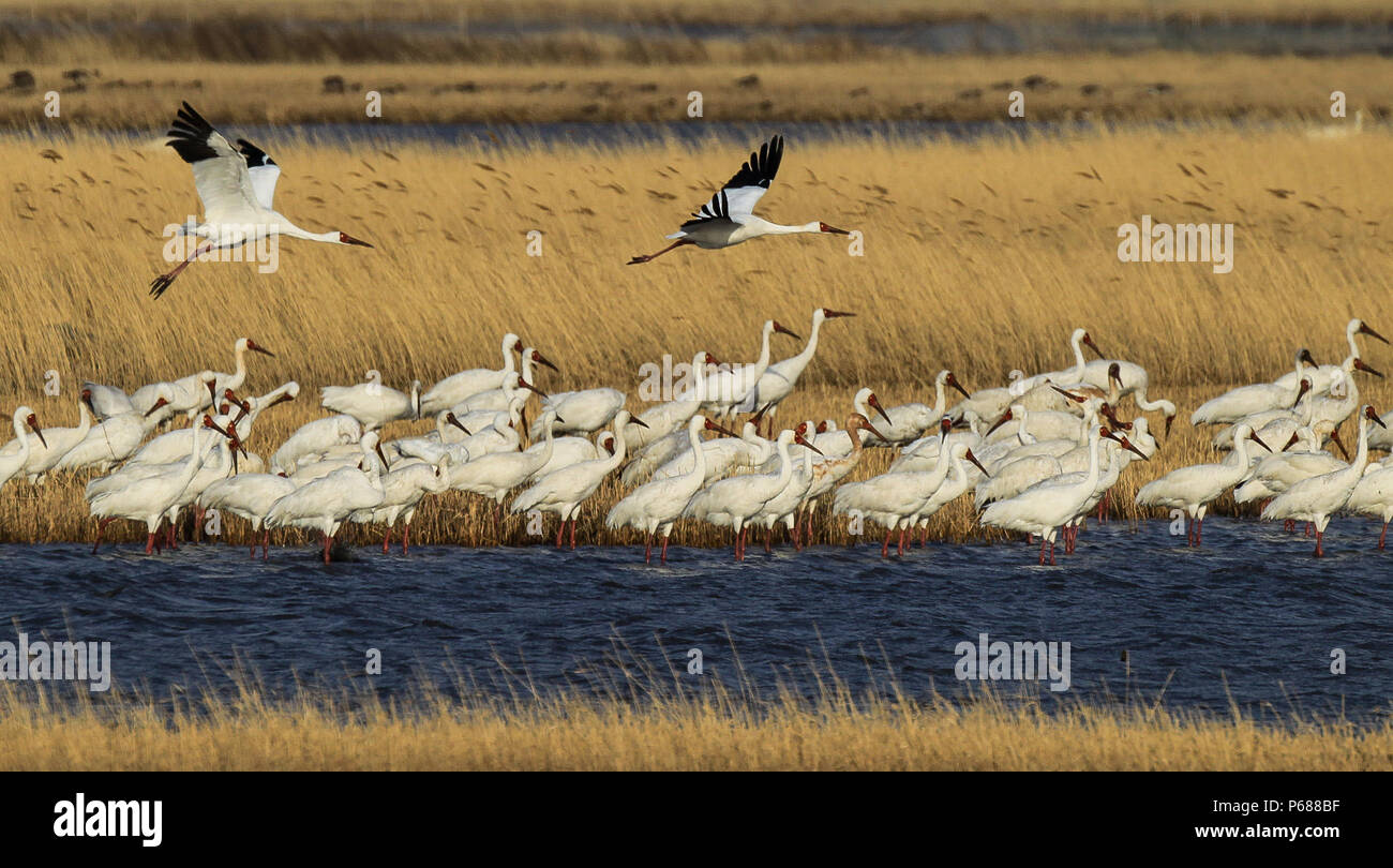 "(180628) -- BEIJING, June 28, 2018 (Xinhua) -- White cranes fly over the Melmeg Wetland in northeast China's Jilin Province, April 26, 2018. Comprehensive progress has been made since the report delivered at the 18th National Congress of the Communist Party of China (CPC) in 2012 included ecological development as a major task in the country's overall plan and proposed building a ""beautiful China"" as a grand goal.  (Xinhua/Wang Haofei) (wyo)(zt) Stock Photo"