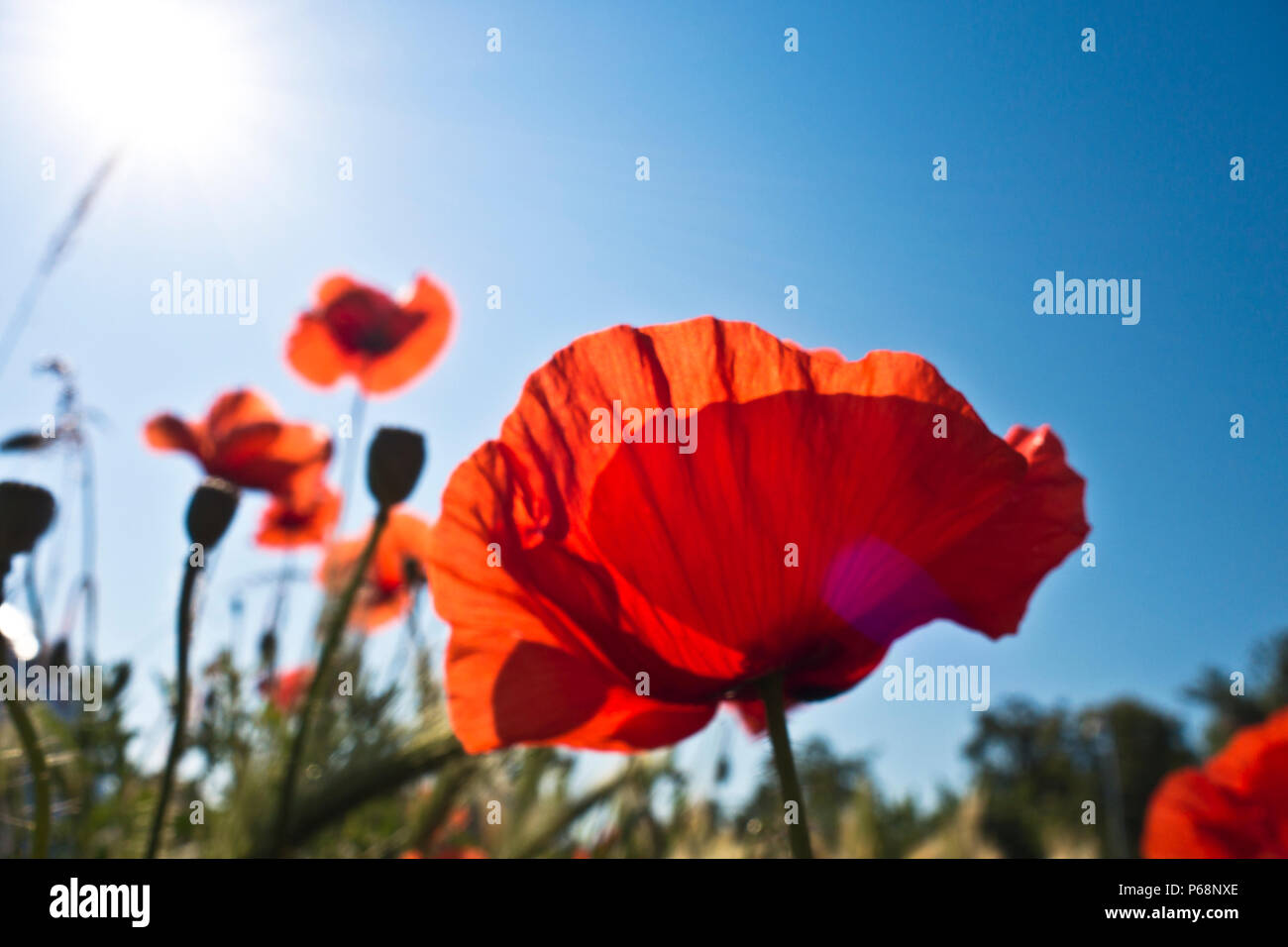 red poppies flowers viewed from below in a sunny summer day - Stock Image