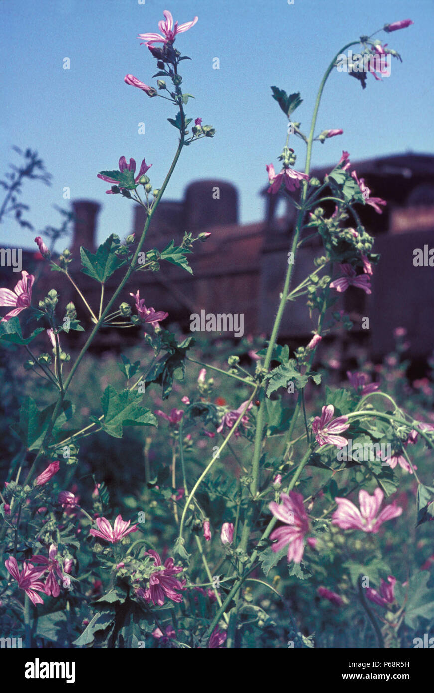 Wild flowers proliferate whenever there is rusting metal and the locomotive graveyard at Thessaloniki in Greece is no exception. These Greek Railways  - Stock Image