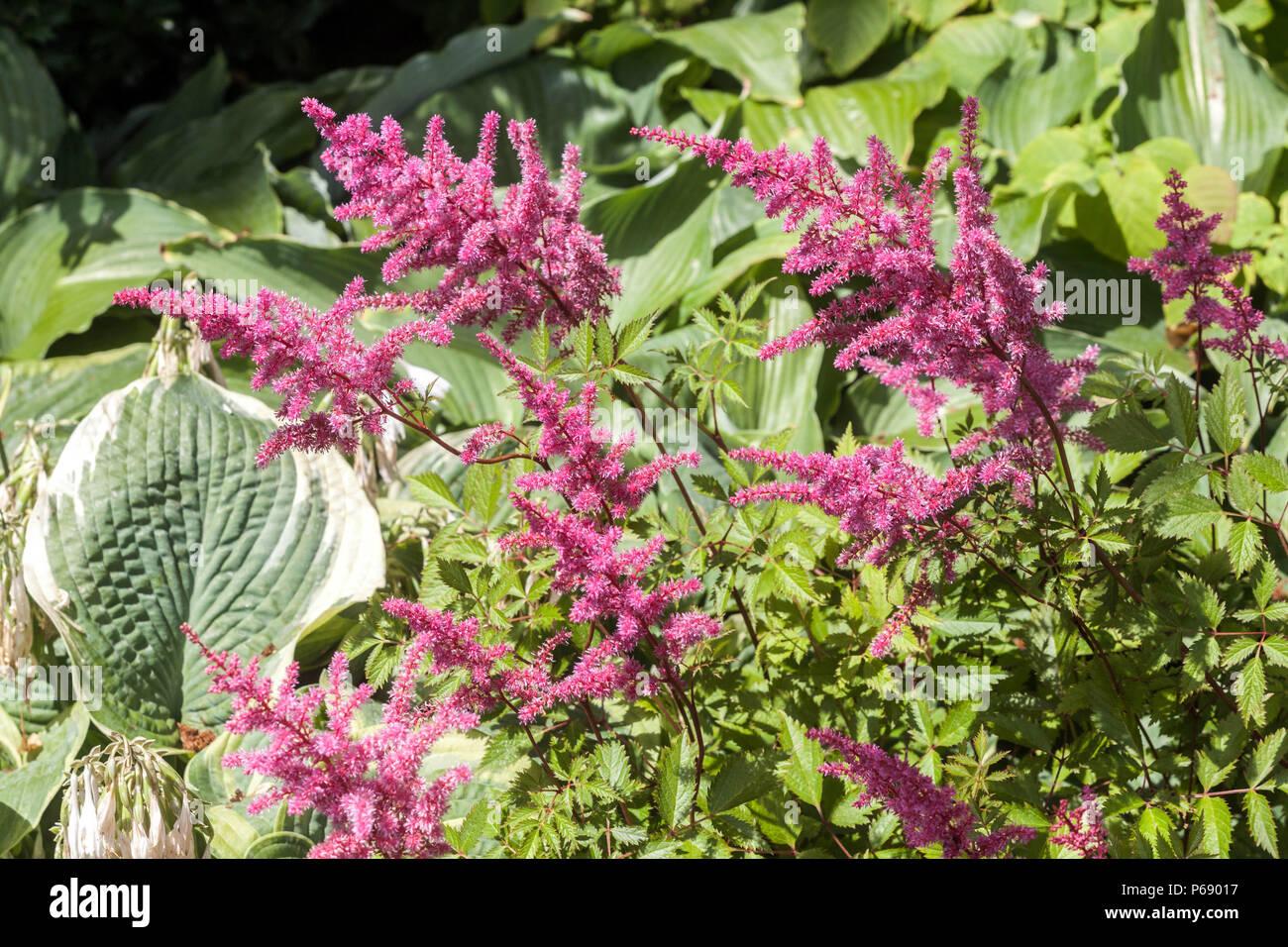 Garden Astilbe Astilbe Arendsii Garden Stock Photos & Garden Astilbe on hosta and daylily garden, hosta and caladium garden, hosta garden plans blueprints, hosta and hydrangea garden,
