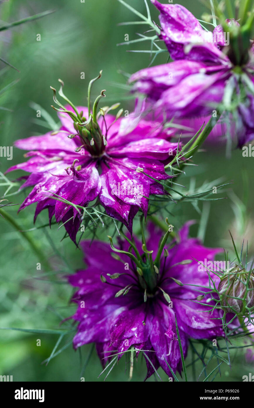 Blue mist flower growing stock photos blue mist flower growing nigella damascena miss jekyll love in a mist stock image izmirmasajfo