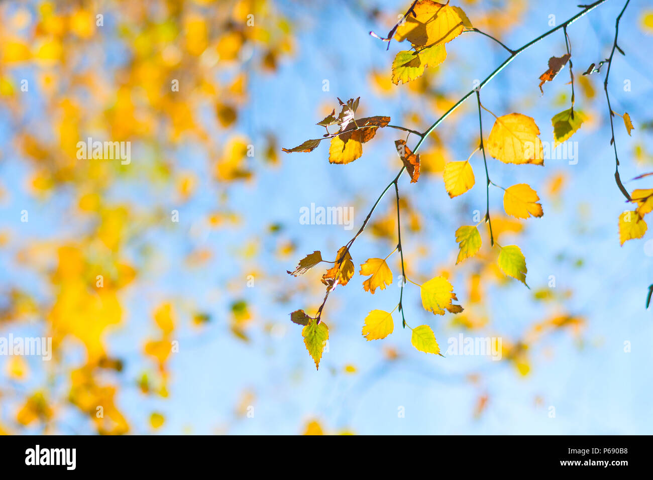 Yellow birch leaves on blue sky background. Autumn fall - Stock Image