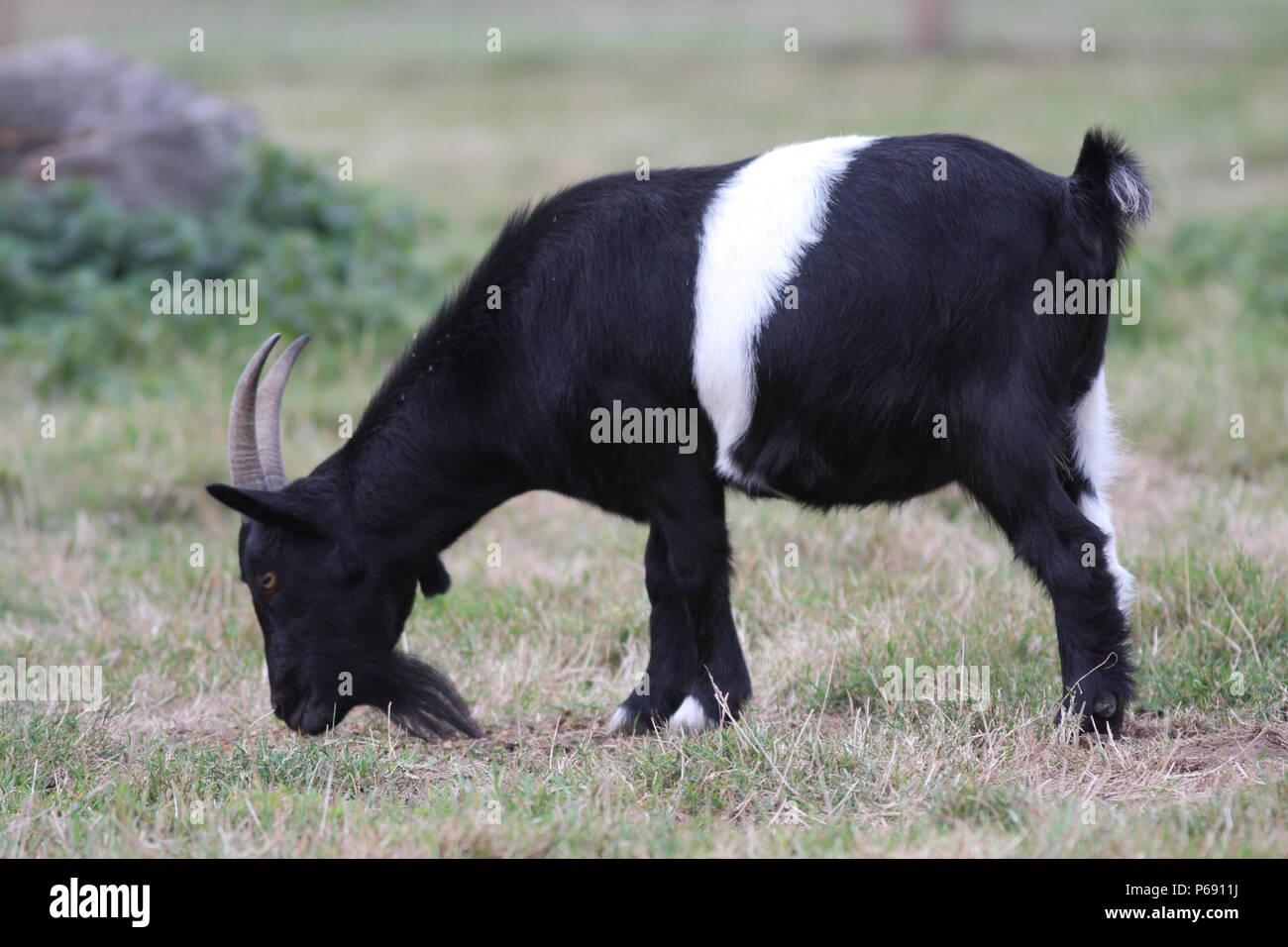 Black Male Goat Stock Photos & Black Male Goat Stock Images - Alamy