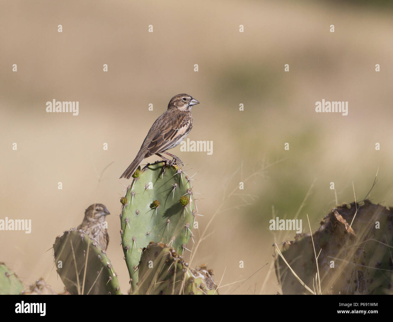 A lark bunting on a prickly pear cactus in southern Arizona, USA. - Stock Image
