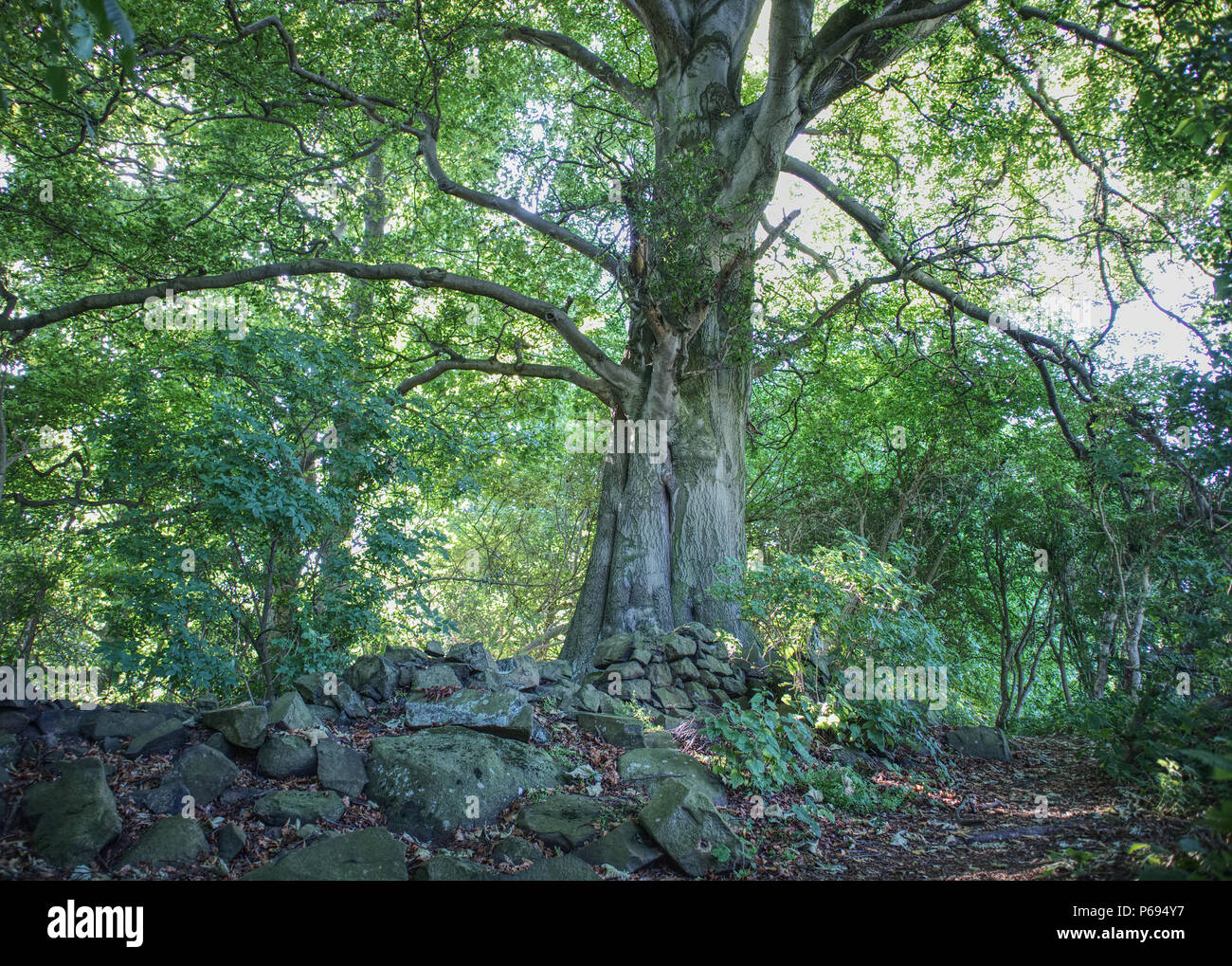 A photograph of a very old tree close to collapsed wall in the natural reserve of Corstorphine Hill in Edinburgh, Scotland, United Kingdom - Stock Image