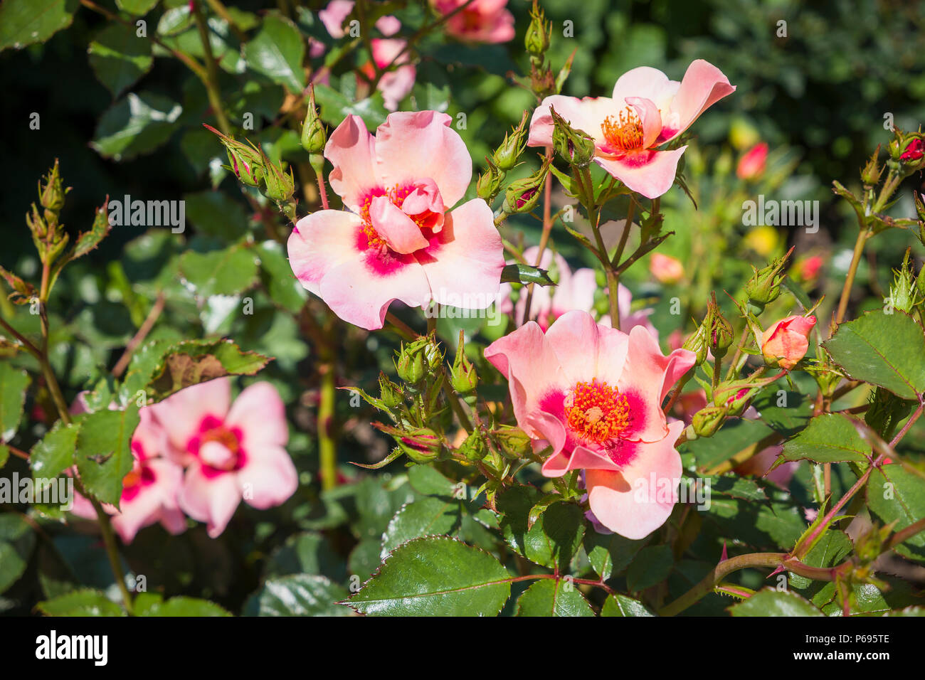Rosa For Your eyes Only flowering in an English garden in June - Stock Image