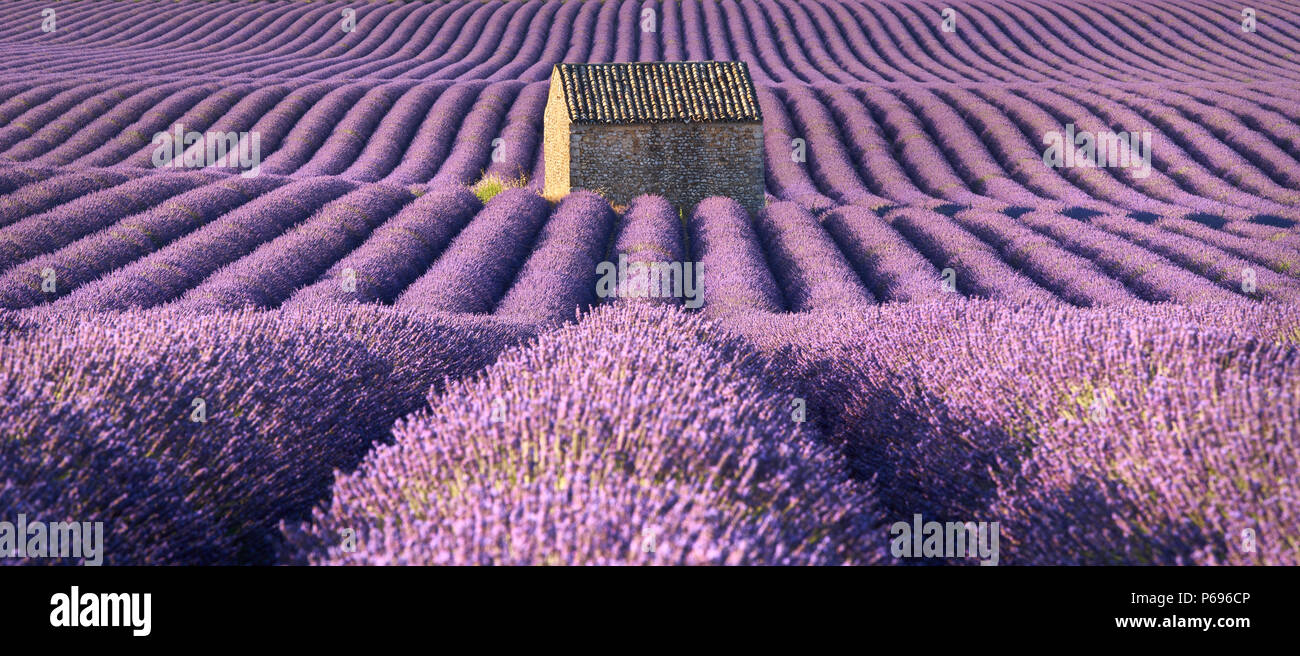 Panoramic view of lavender fields in Valensole with stone house in Summer. Alpes de Haute Provence, France - Stock Image
