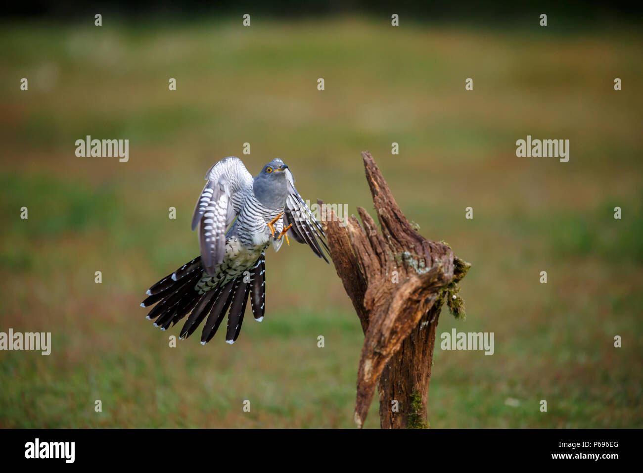 A common cuckoo coming into to land on its favourite perch - Stock Image