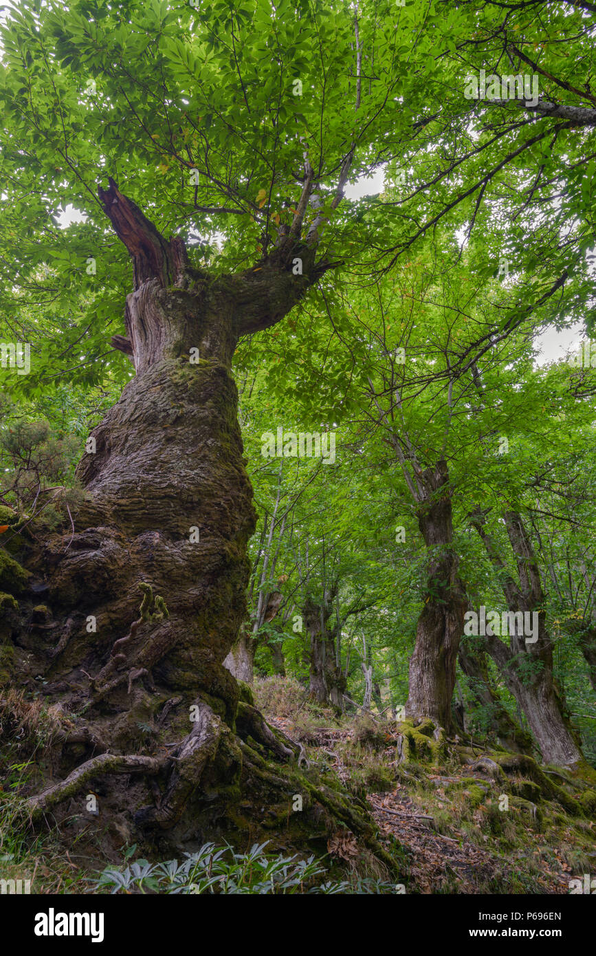 Twisted And Gnarled Chestnut Tree Centenary In The Forests Of Courel In Samos Lugo Galicia Stock Photo Alamy