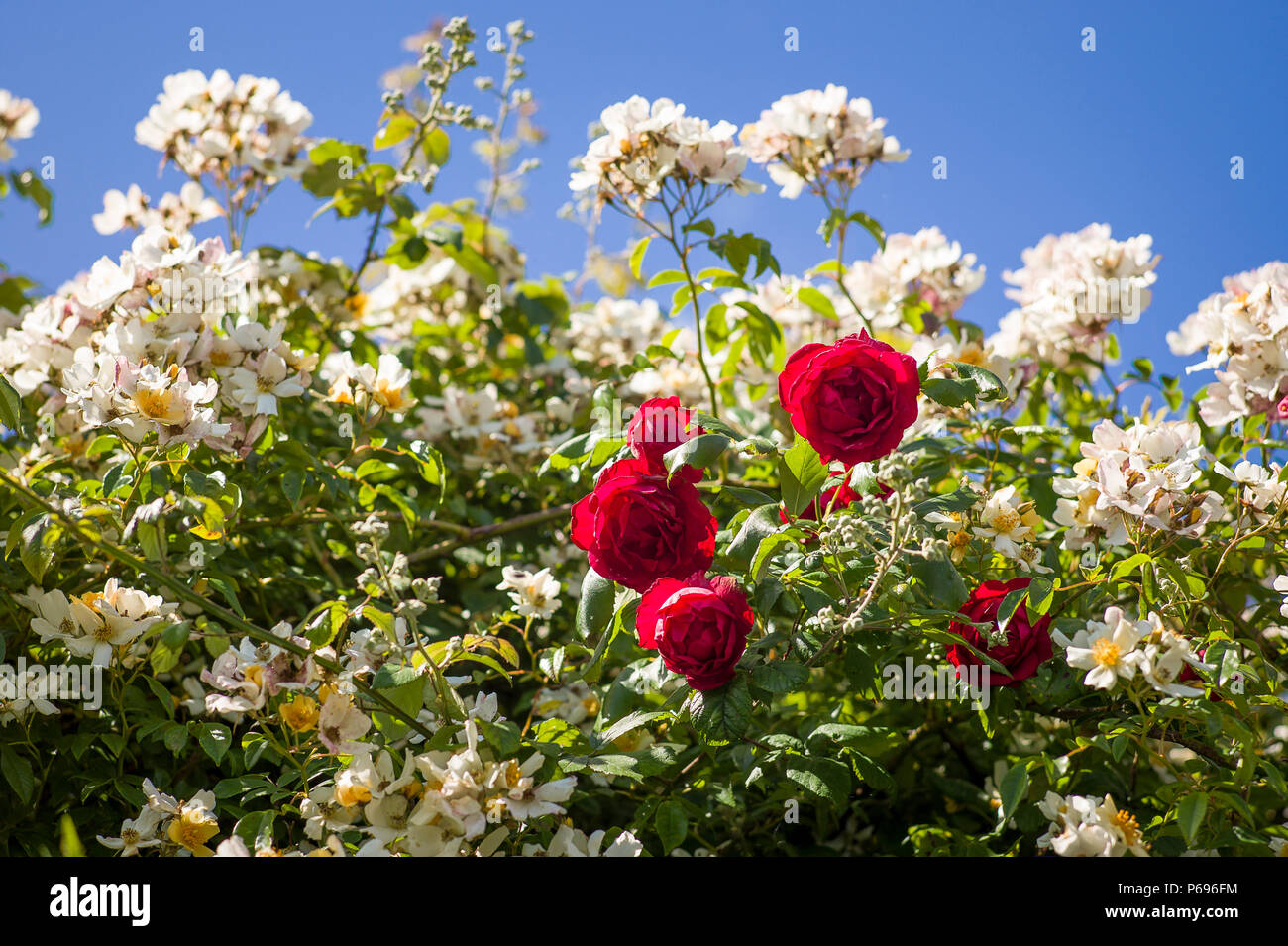 A group of roses Danse de Feu succeed in climbing through a rampant climibing rose in UK - Stock Image