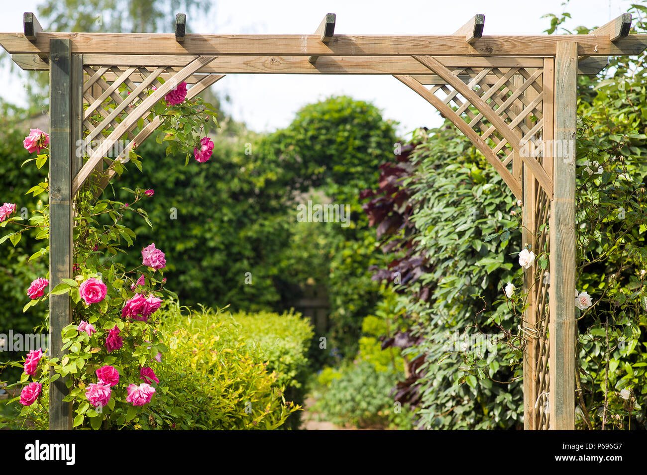 Rosa Zephirine Drouhin soon colonises a new wooden arch in an English garden - Stock Image