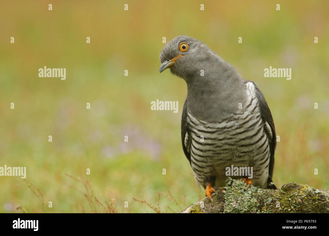 A stunning Cuckoo (Cuculus canorus) perching on a branch in a meadow at the edge of heathland. - Stock Image