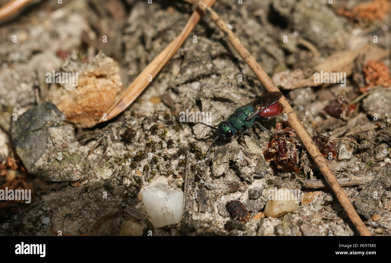 A beautiful hunting Ruby-tailed Wasp (Chrysis ignita) perching on the ground in woodland. - Stock Image