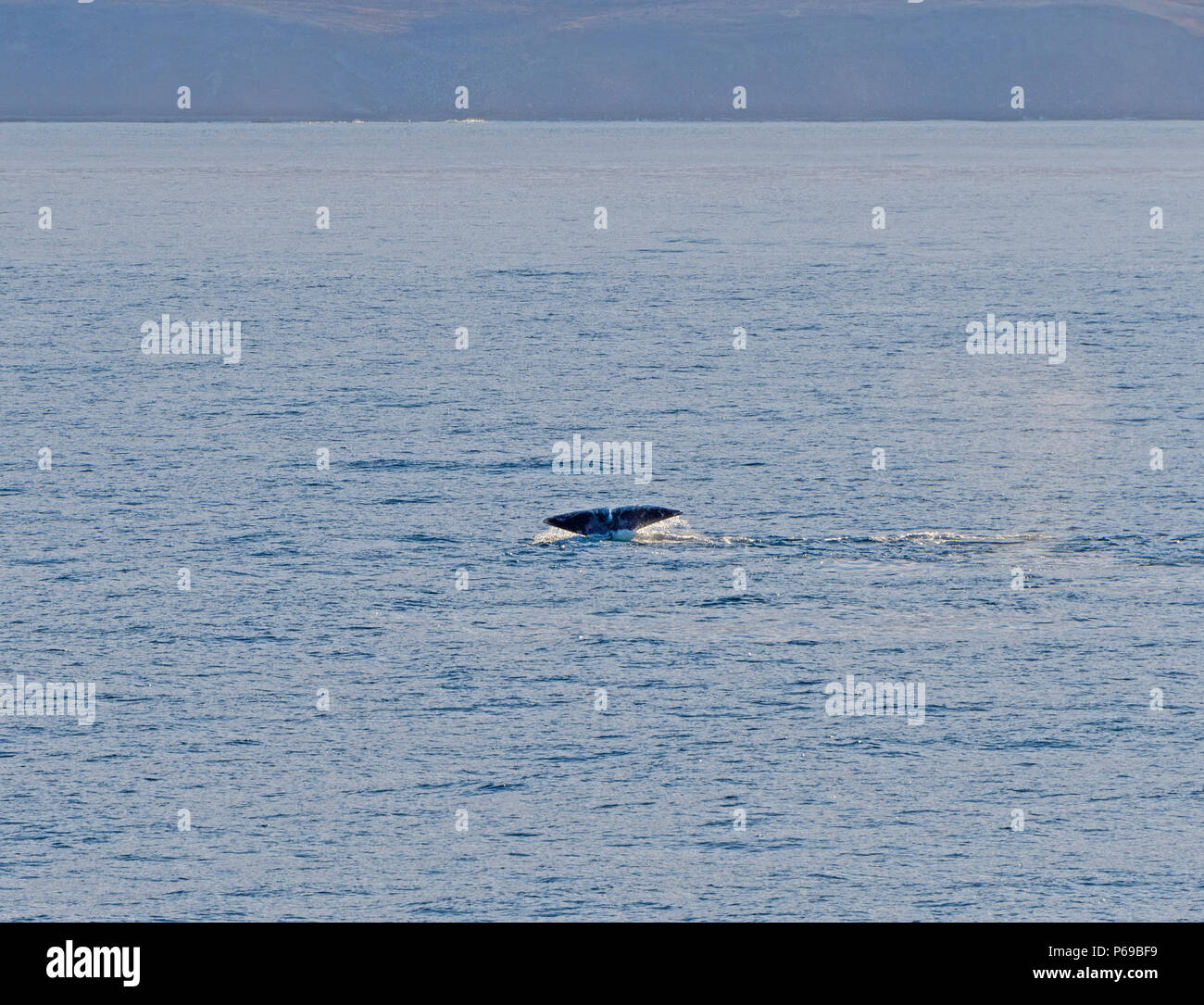 Bowhead whale flukes in the arctic in Isabella Bay of the  Ninginganiq National Wildlife Area on Baffin Island in Nunavut, Canada - Stock Image