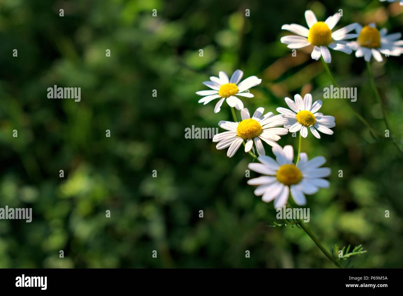Natureflowersenvironmentparks And Summery Concept White Wild