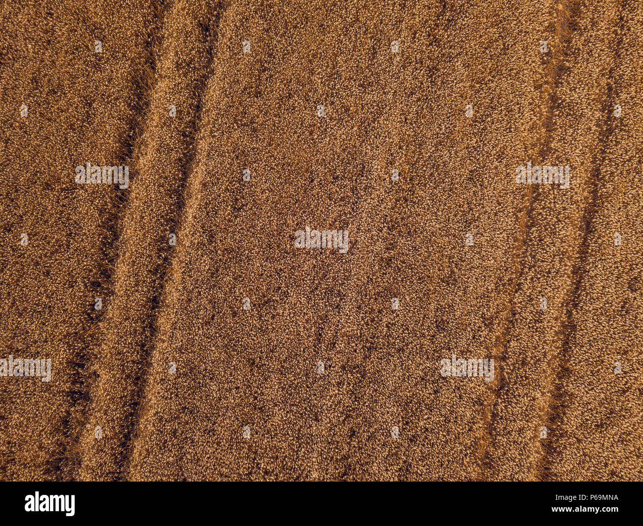 Aerial top view of ripe wheat field from drond point of view - Stock Image