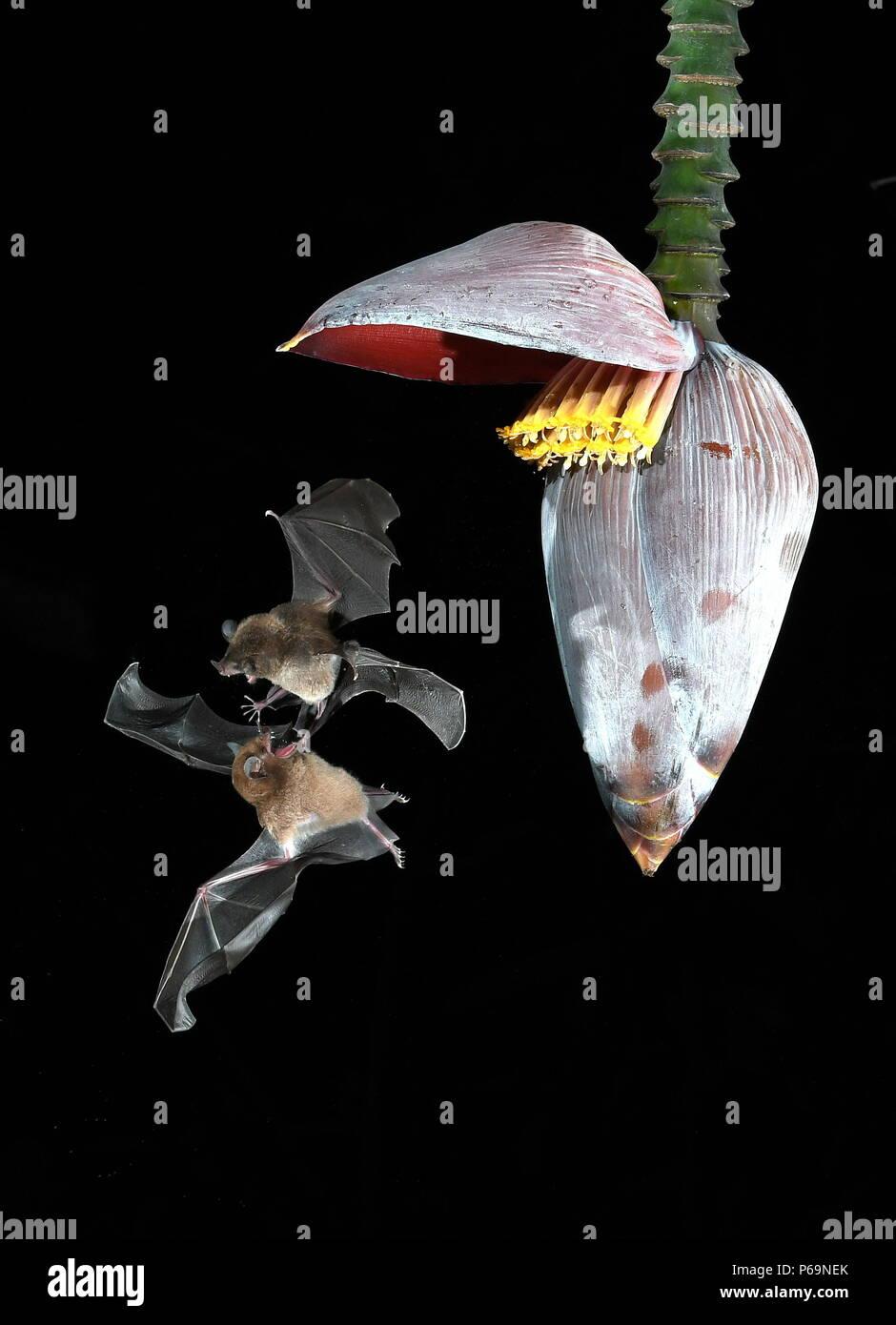 A duo of tent-making bats (Uroderma bilobatum) duels for night nectar - Stock Image