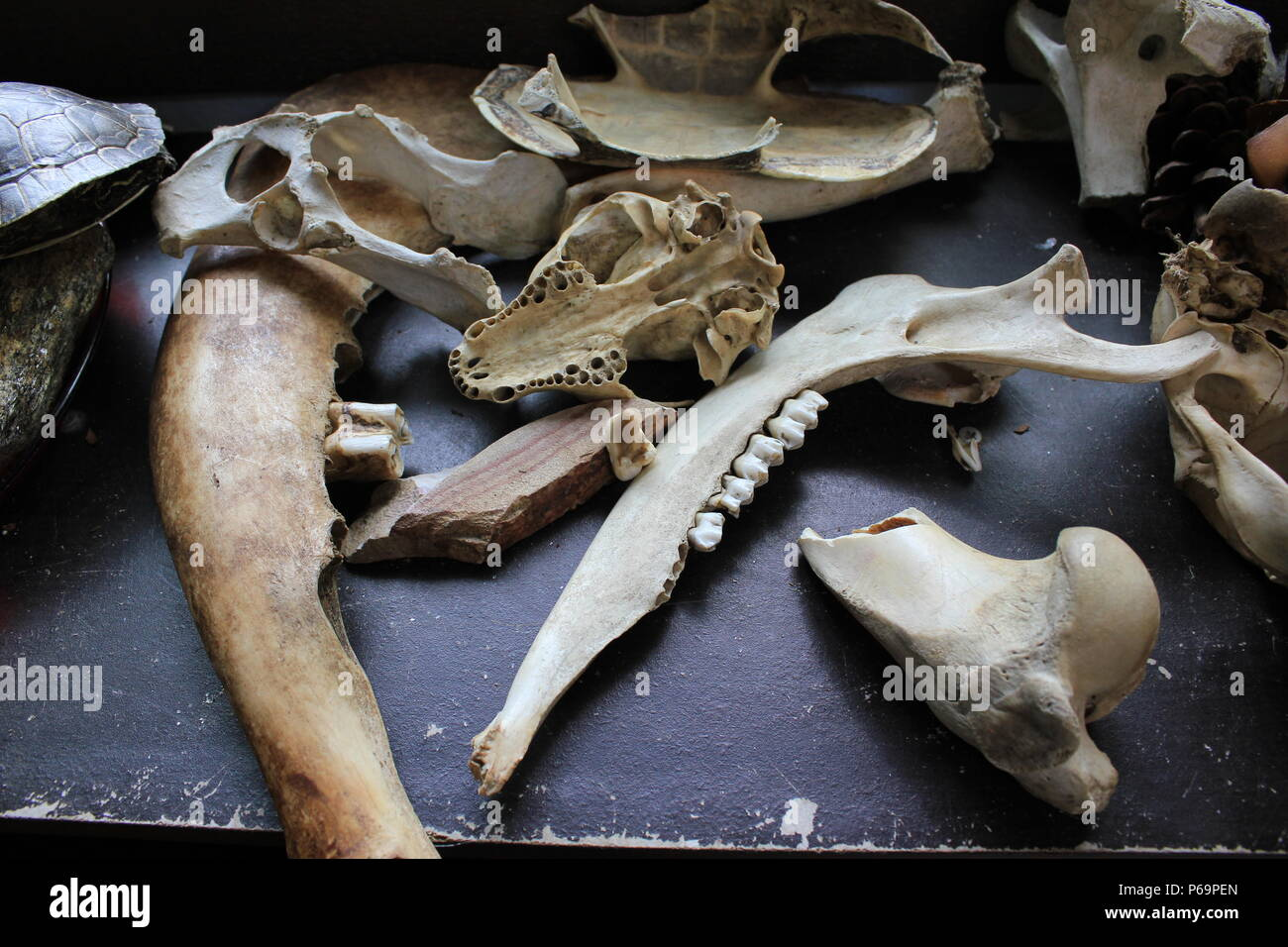 Animal body parts in display at the children's touching station at the Wildwood Nature Center in Park Ridge, Illinois. - Stock Image