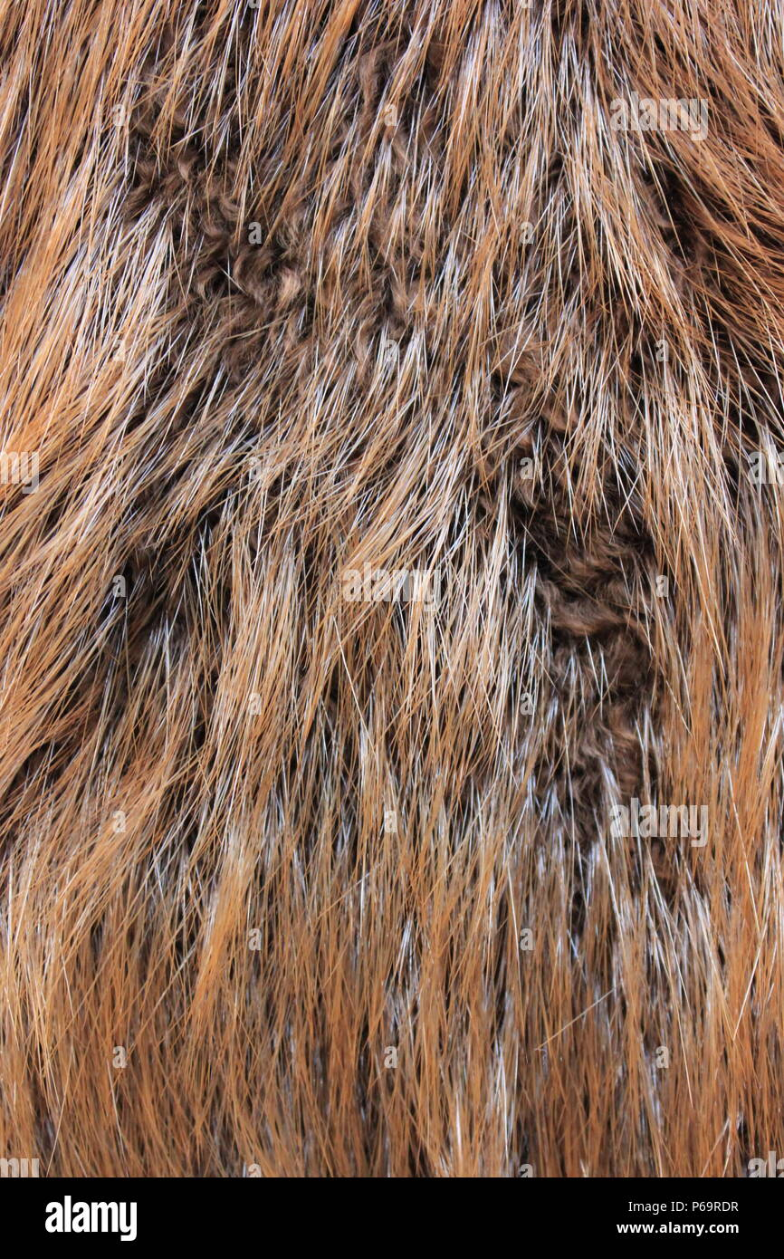 Beaver pelt for the kids touching exhibit River Trails Nature Center in Northbrook, Illinois. Stock Photo