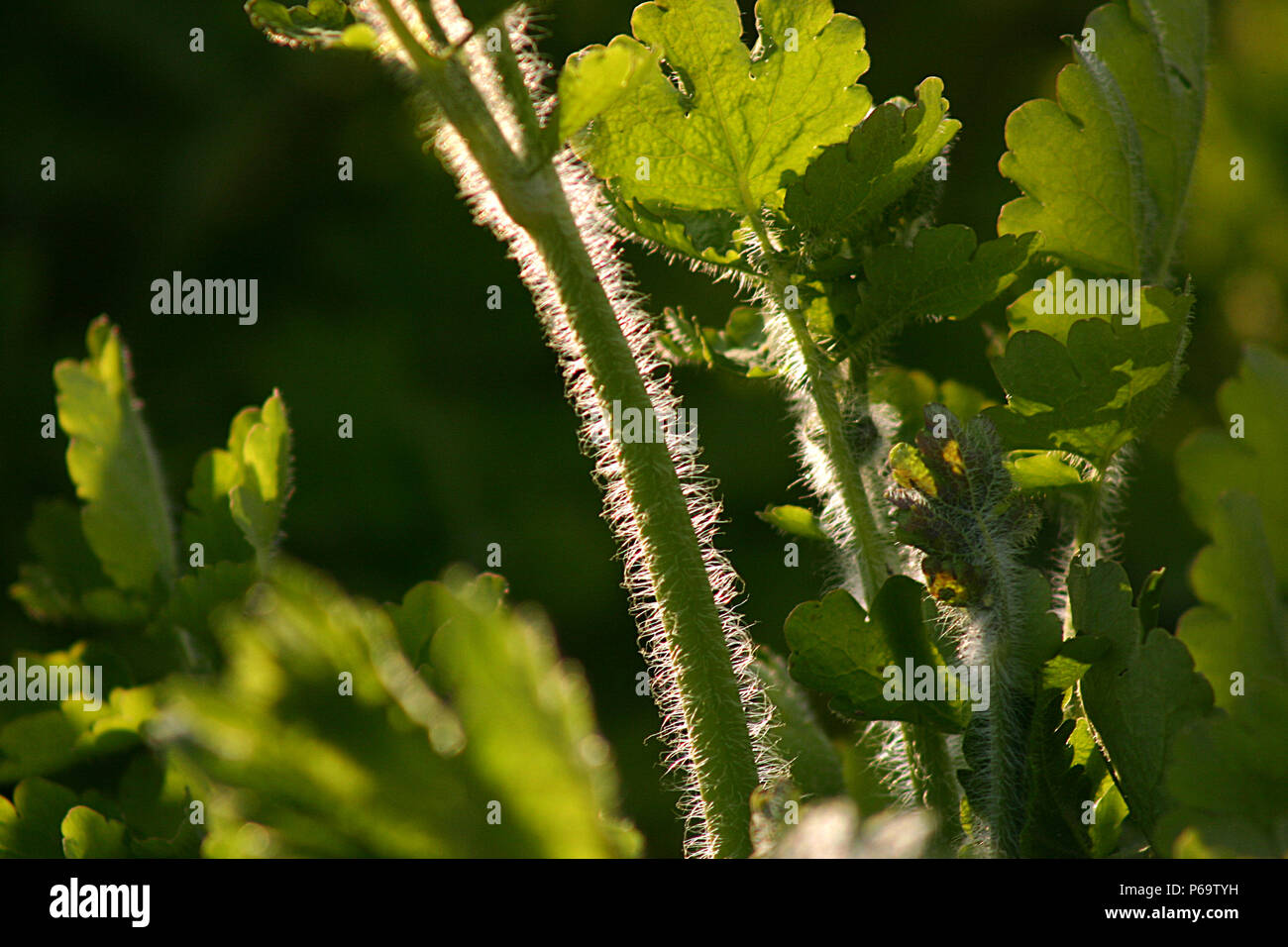 Chelidonium majus (Greater Celandine). Close up of stem and leaves Stock Photo