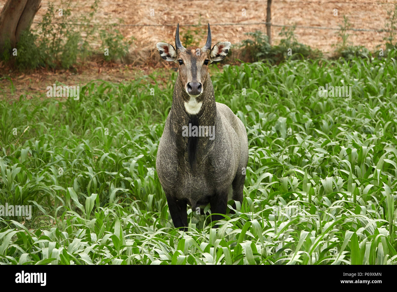 The nilgai or blue bull is the largest Asian antelope and is endemic to the Indian subcontinent. standing in a green grassland Stock Photo