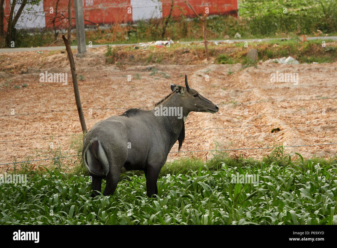 The nilgai or blue bull is the largest Asian antelope and is endemic to the Indian subcontinent. standing in a green grassland - Stock Image