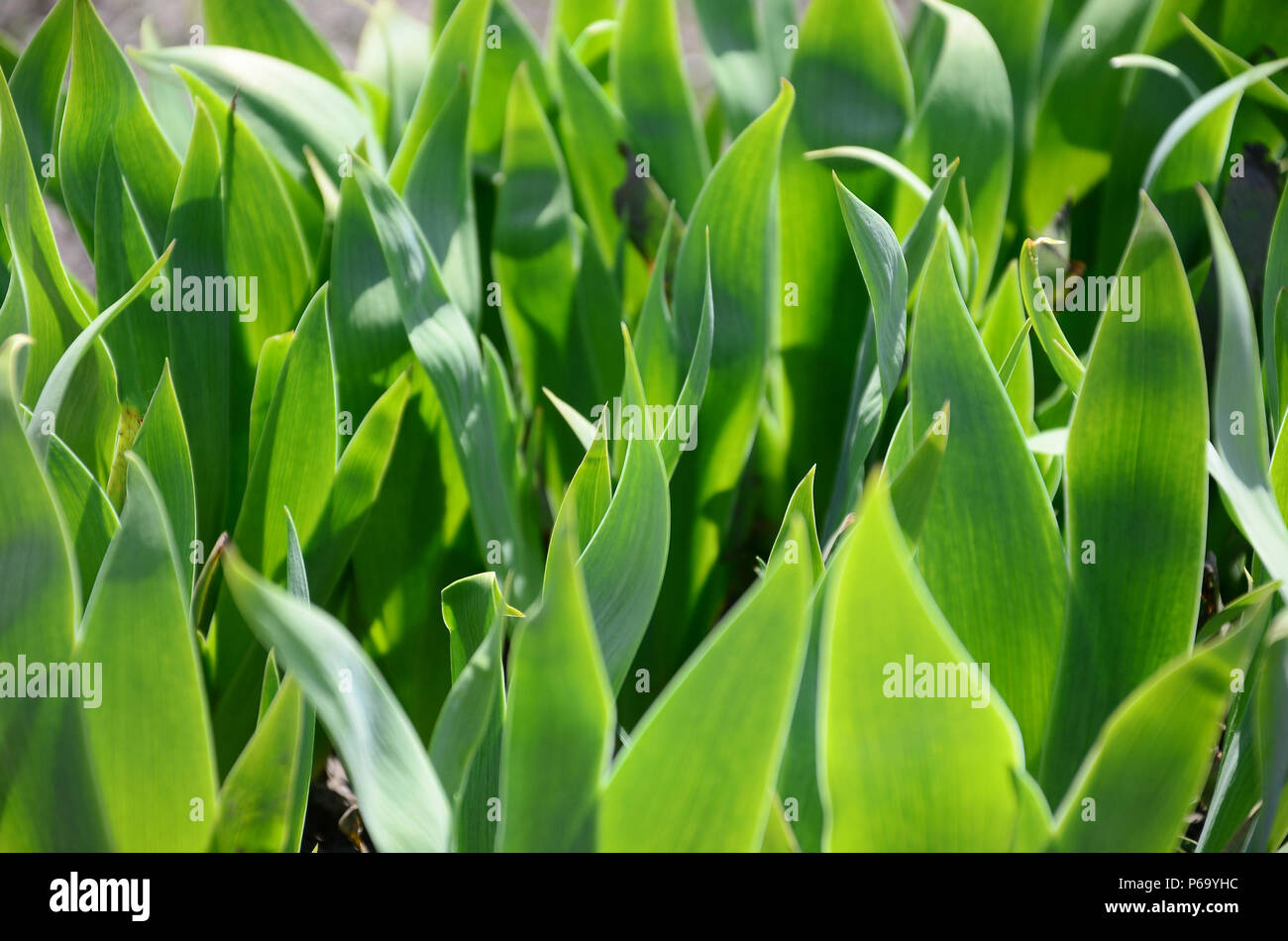A lot of green stems growing in the garden . - Stock Image