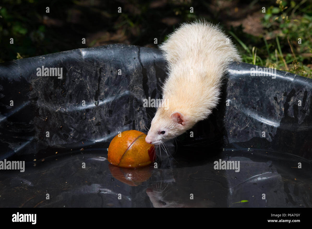 A ferret (domesticated form of the European Polecat) playing with its toys in a kiddie pool on a hot summer day. - Stock Image