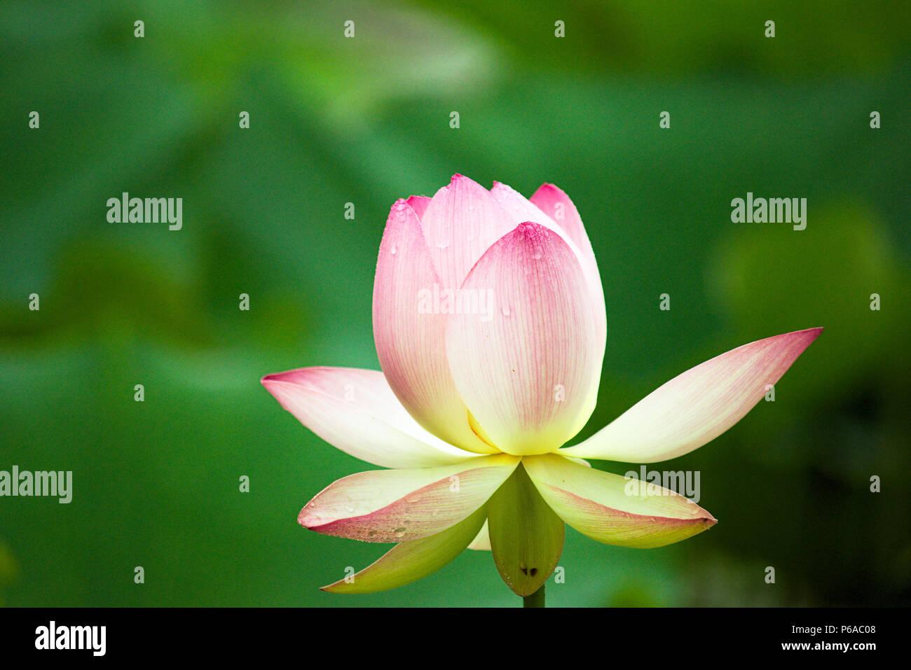 Large lotus flower stock photo 210441288 alamy large lotus flower mightylinksfo