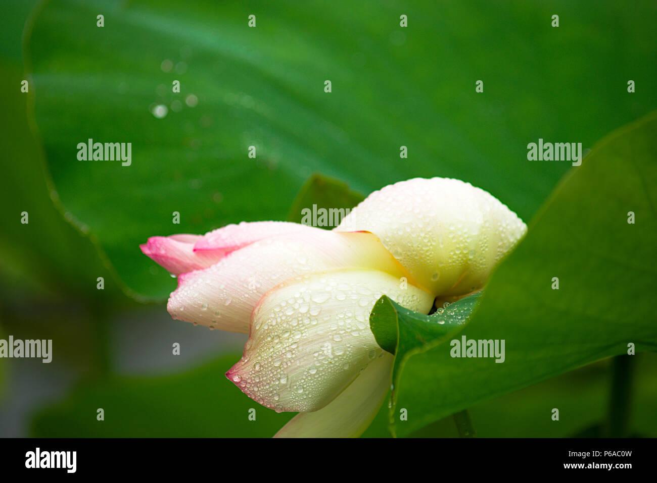 Large lotus flower stock photo 210441305 alamy large lotus flower mightylinksfo