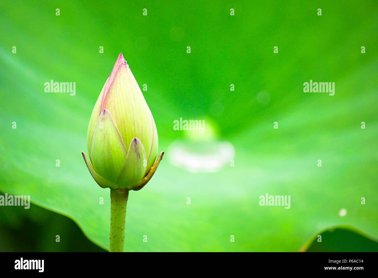 Large lotus flower stock photo 210441312 alamy large lotus flower mightylinksfo