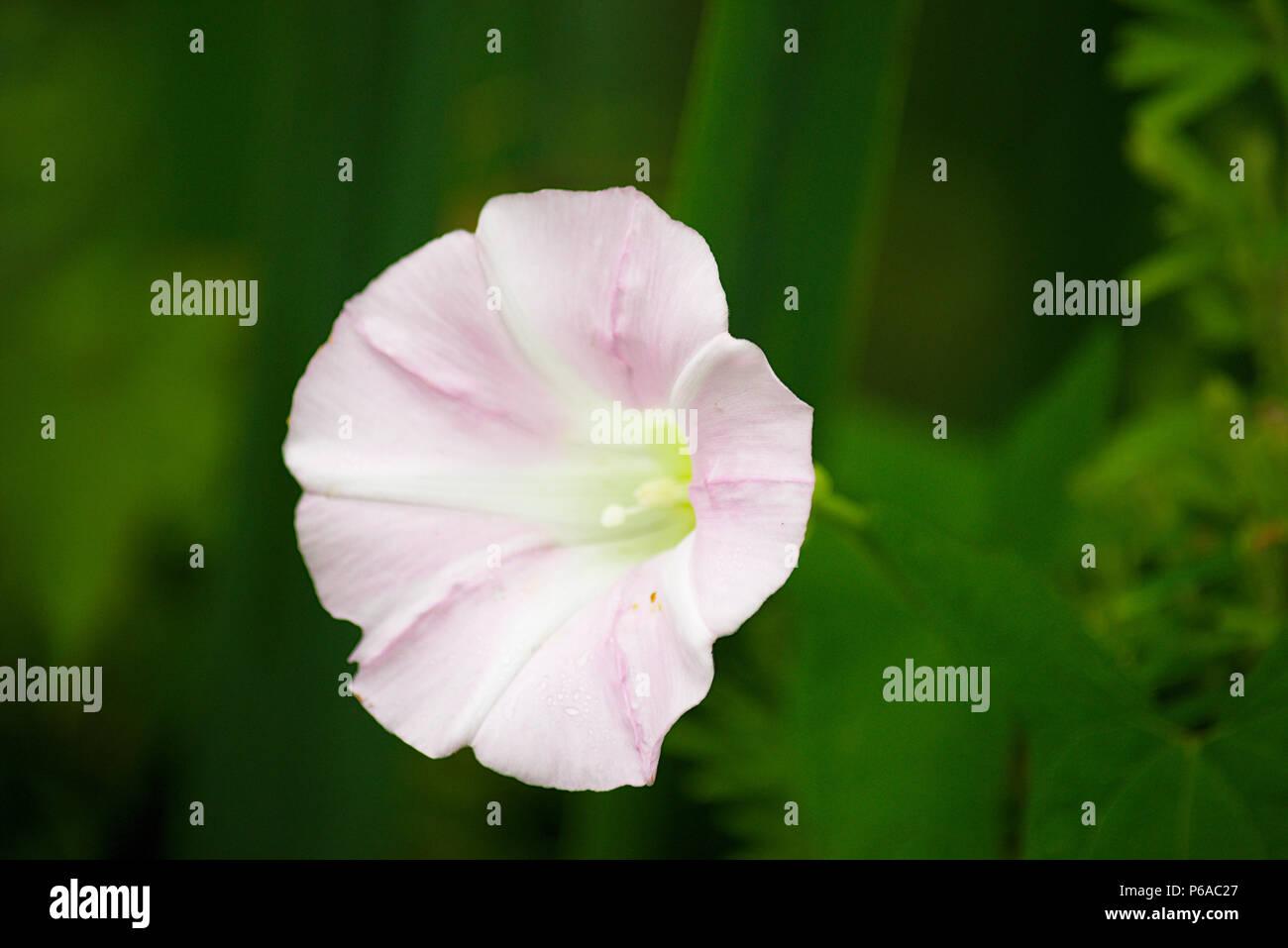 Light pink flower blossom - Stock Image