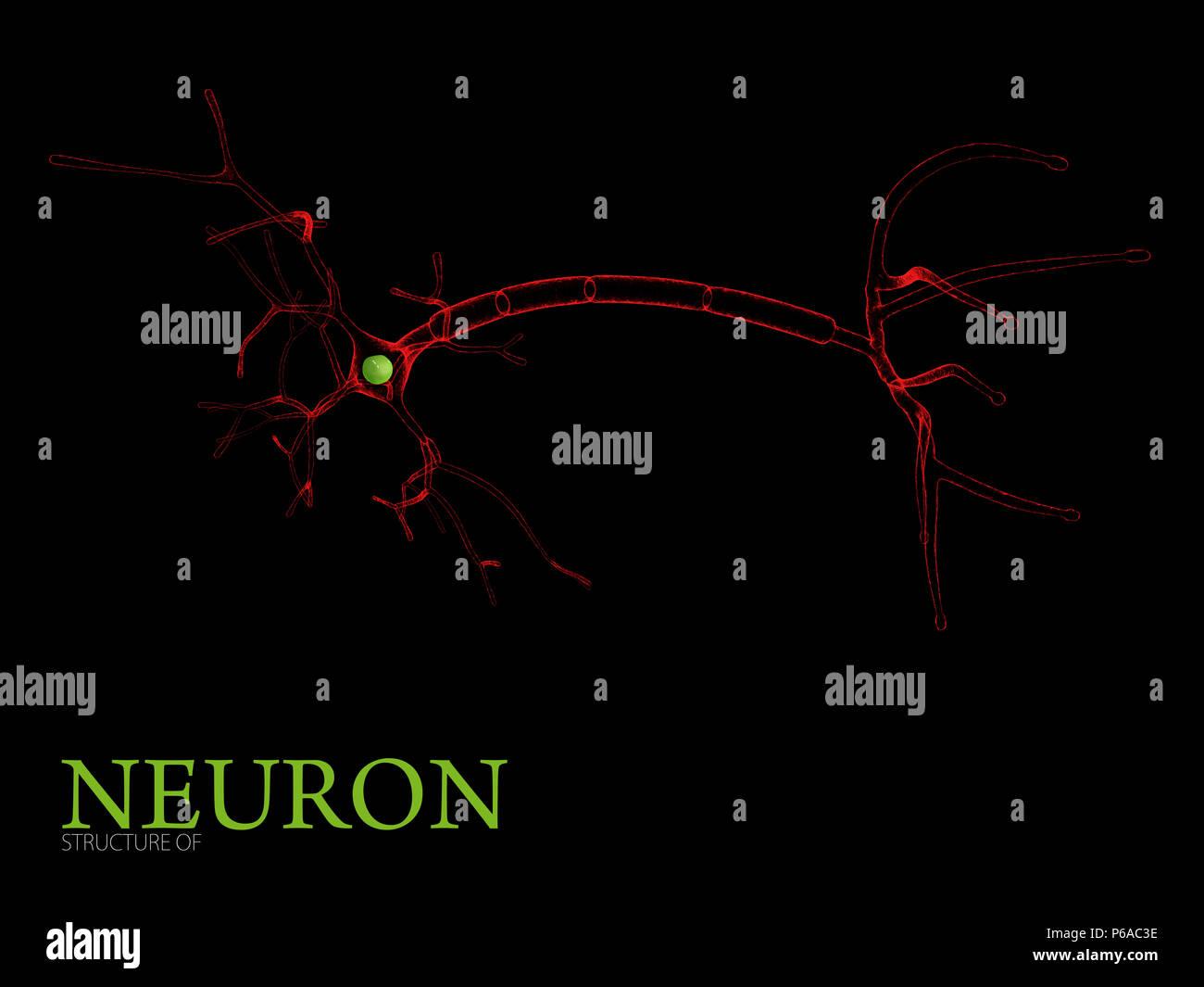 3d Illustration of Neuron anatomy, isolated black background - Stock Image