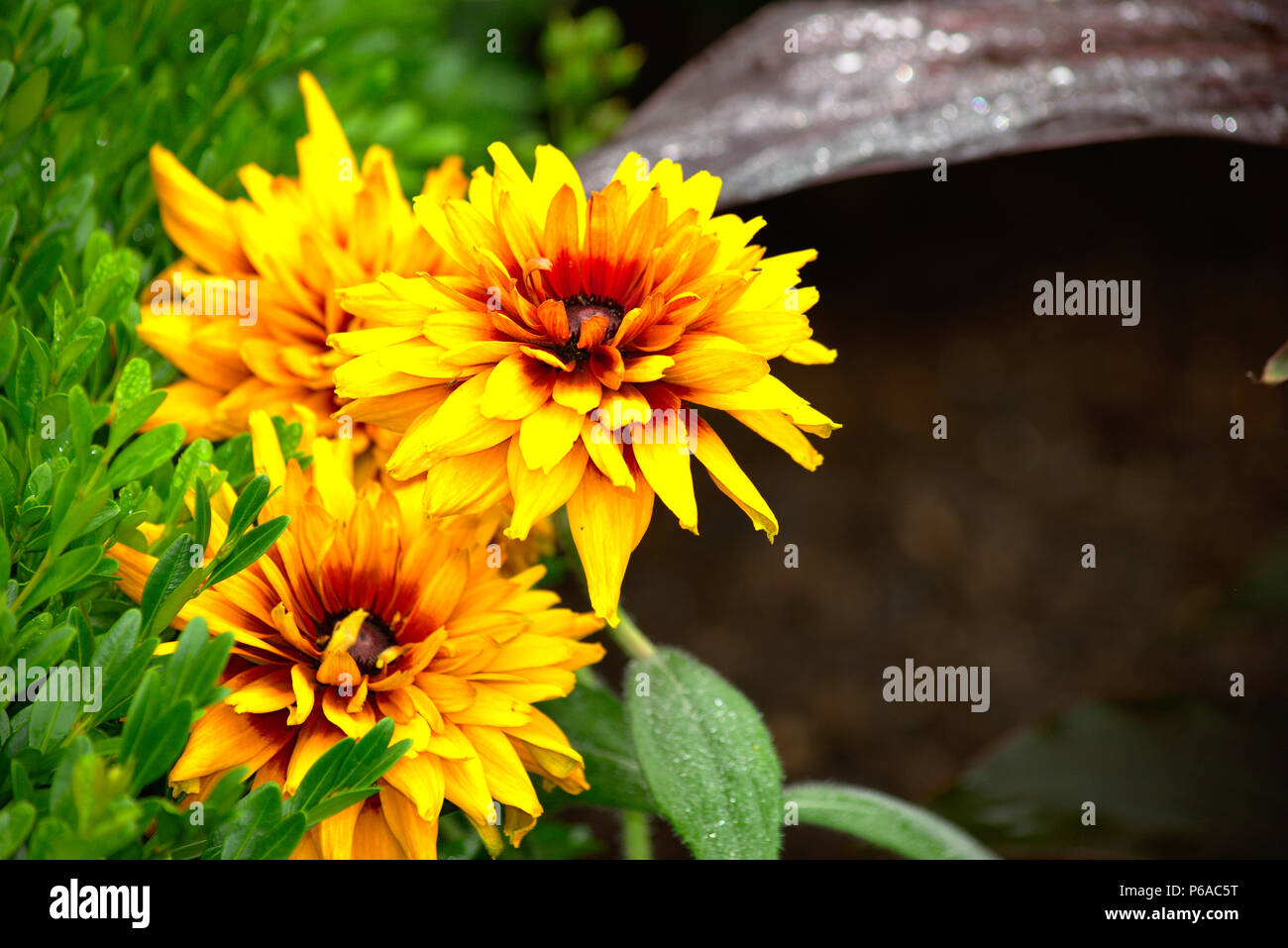 Yellow Flower With Red Center Stock Photo 210441444 Alamy