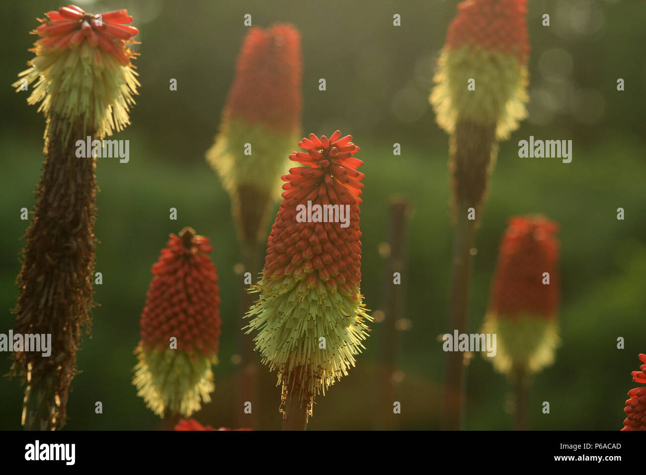 Close-up of Kniphofia flowers Stock Photo