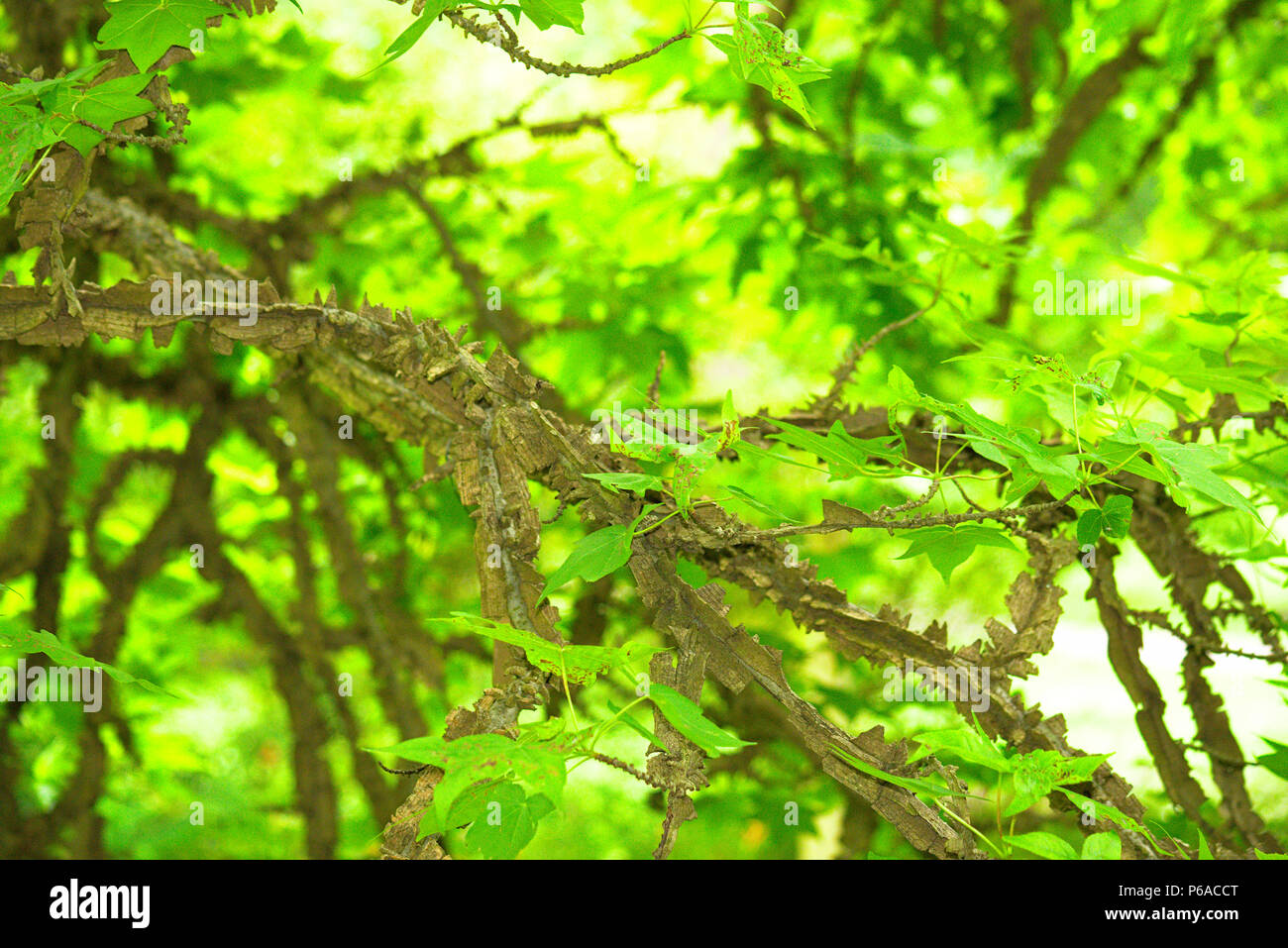 Corky Sweet Gum tree branch with green leaves - Stock Image