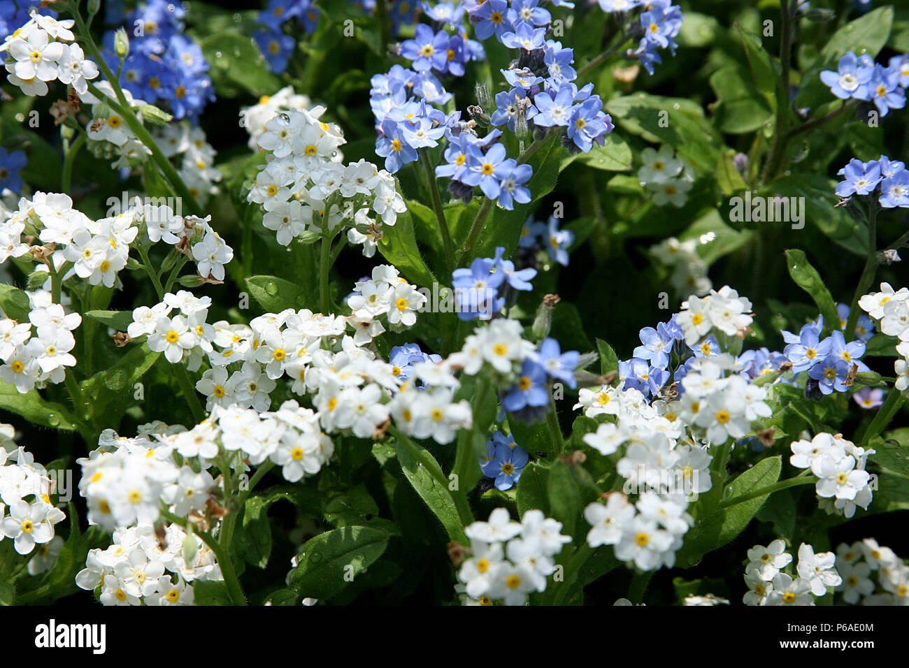 White And Blue Forget Me Not Flowers Stock Photo 210442868 Alamy