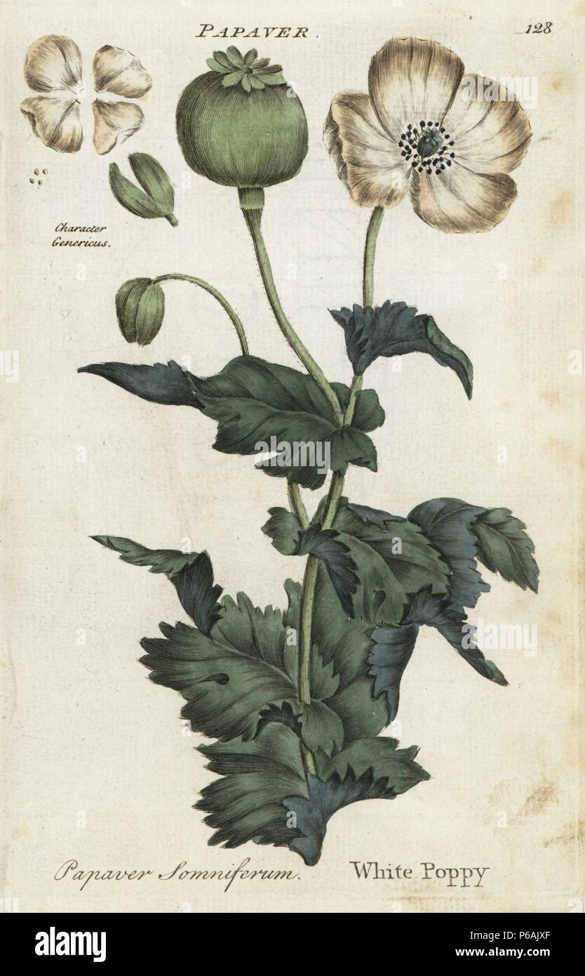 "White opium poppy, Papaver somniferum. Handcoloured botanical copperplate engraving by an unknown artist from ""Culpeper's English Family Physician; or Medical Herbal Enlarged, with Several Hundred Additional Plants, Principally from Sir John Hill,"" by Joshua Hamilton, London, W. Locke, 1792. Stock Photo"