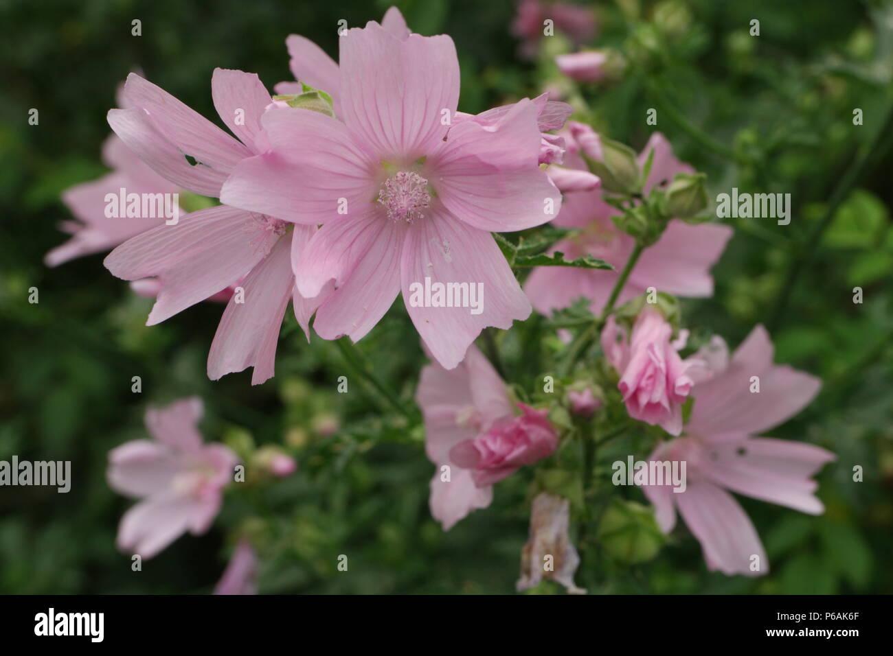Malva alcea (Rosen-Malve) (Greater Musk-Mallow) Stock Photo