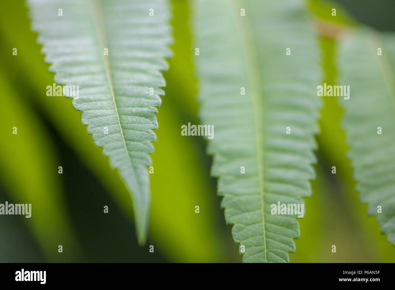 Close-up of green serrated leaflets that belong to the staghorn sumac (Rhus typhina) - Stock Image