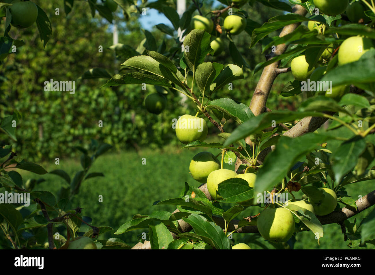 Branches of a tree of the Granny Smith apple cultivar, full of ripening fruits. It is a quite a young tree on an early summer day. - Stock Image